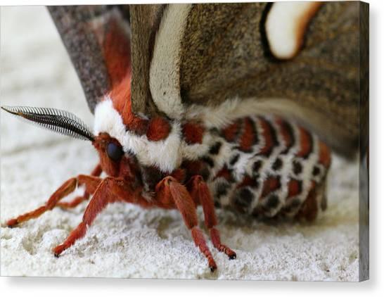 Giant Silkworm Moth 049 Canvas Print