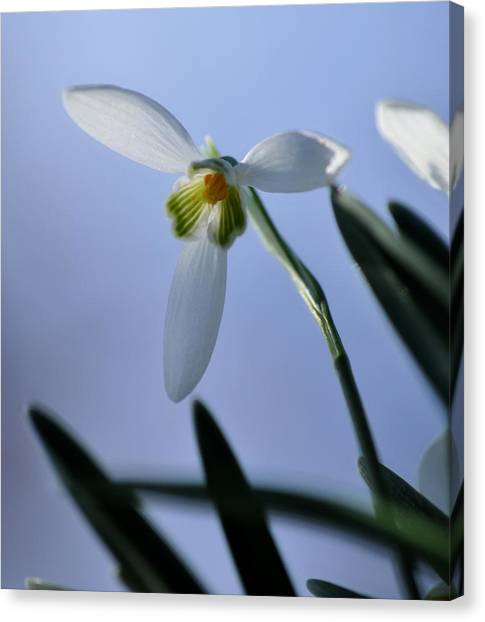 Giant Snowdrop Canvas Print