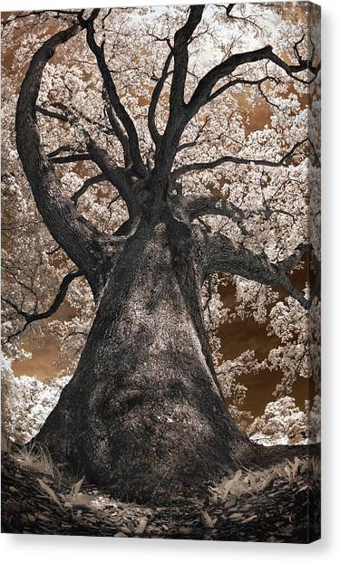 Giant White Oak Canvas Print