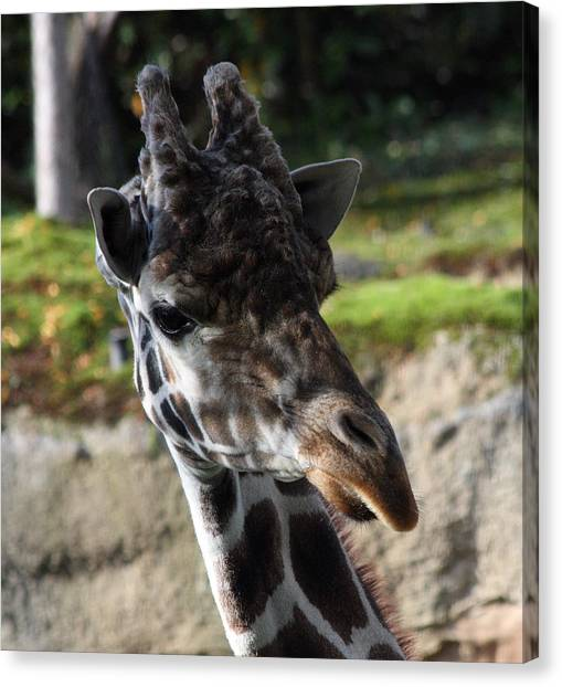 Giraffe - 0001 Canvas Print by S and S Photo