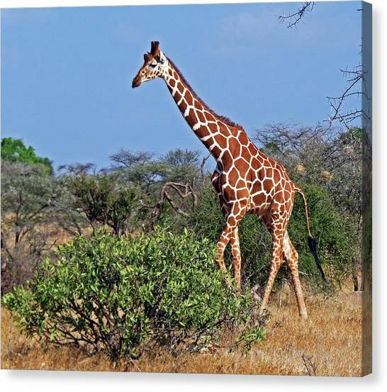 Giraffe Against Blue Sky Canvas Print