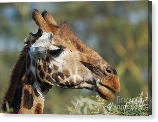 Giraffe Canvas Print by Alan Clifford