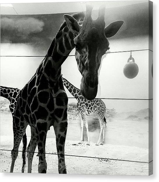 Giraffes Canvas Print - #giraffe At #bronx #zoo #black #white by Antonio DeFeo