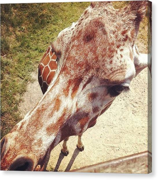 Giraffes Canvas Print - Giraffe by Cassie OToole