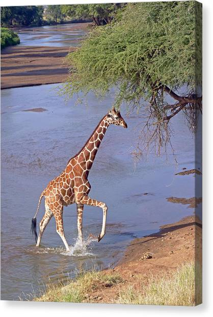 Giraffe Crossing Stream Canvas Print
