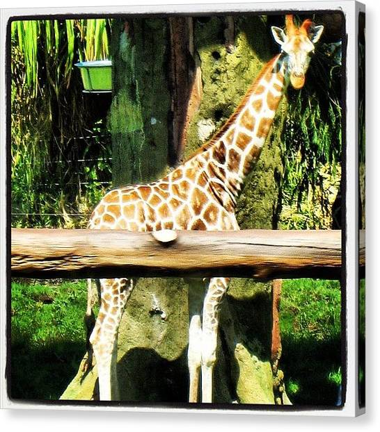 Giraffes Canvas Print - Giraffe by Jessica Daubenmire