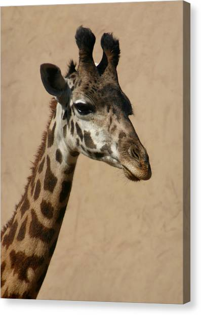 Canvas Print featuring the photograph Giraffe by Kelly Hazel