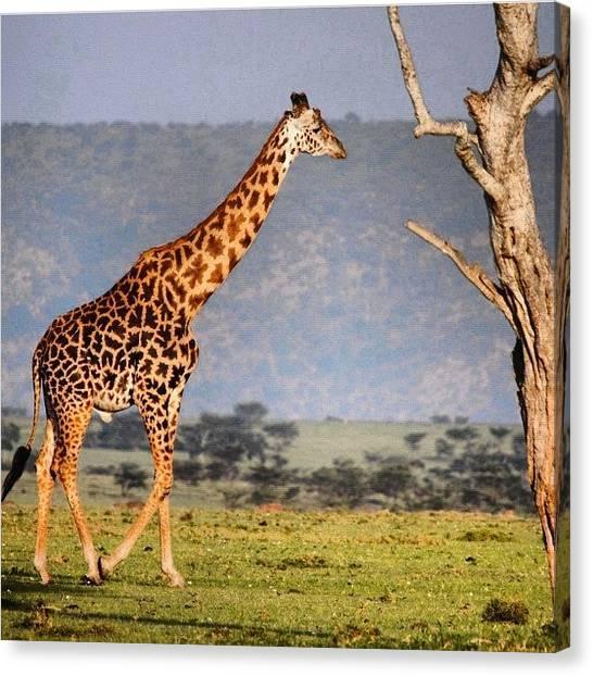 Giraffes Canvas Print - #giraffe #kenya #africa #animals by Owain Evans