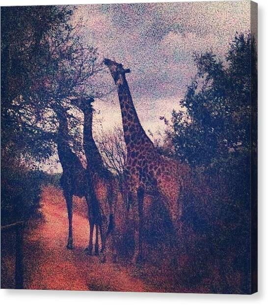 South Africa Canvas Print - Giraffe, Kruger Park by Zachary Voo