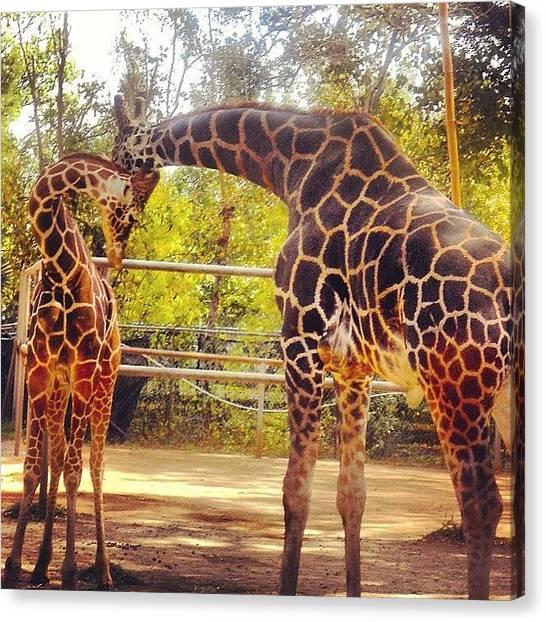 Giraffes Canvas Print - Giraffe Love by Rebecca Shinners