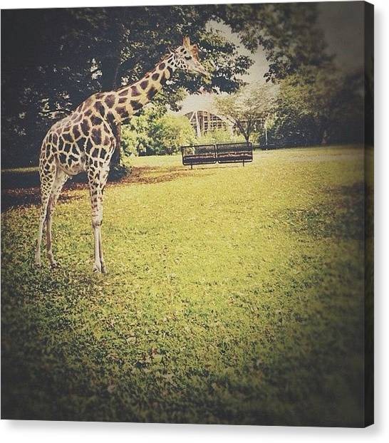 Giraffes Canvas Print - Giraffe. Shot In #olmpiazentrum In by Simone Gruber