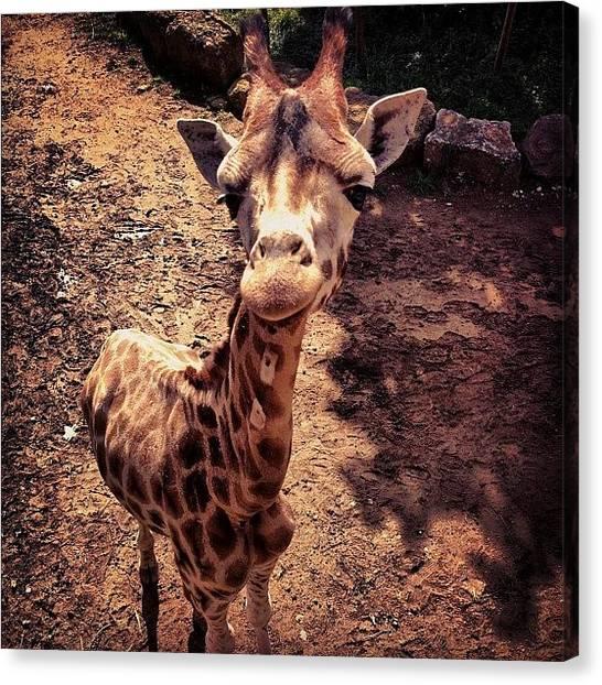 Giraffes Canvas Print - #giraffe #zoo #animal #cute #cuteanimal by Nathan Clarke