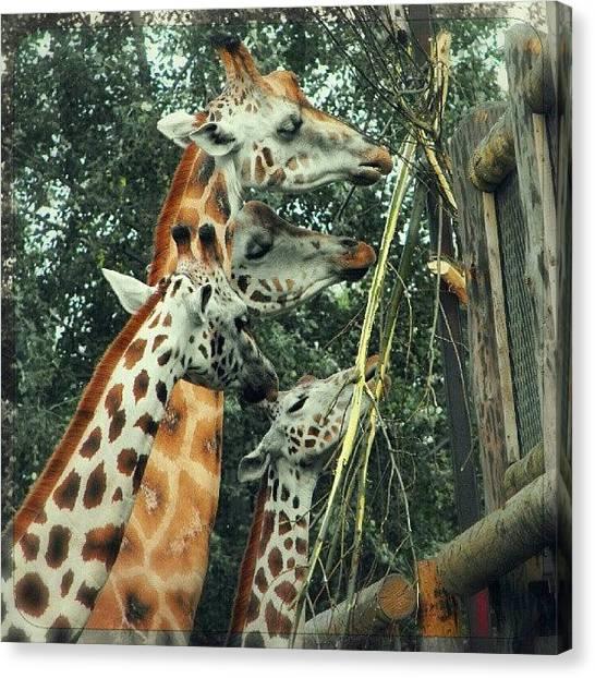 Giraffes Canvas Print - Giraffes Eating... by Alexandra Cook