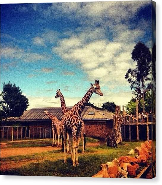 Giraffes Canvas Print - Giraffes, London Zoo by Jessika Fryer