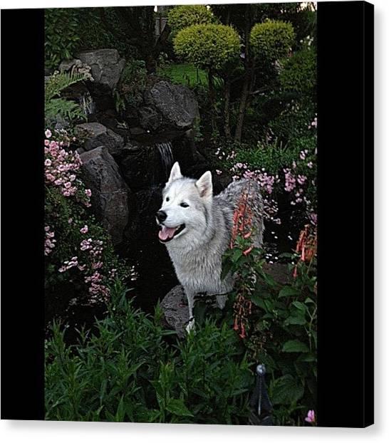 Huskies Canvas Print - #glaciersilverhusky#husky#huskypuppyluv by Rita Frederick