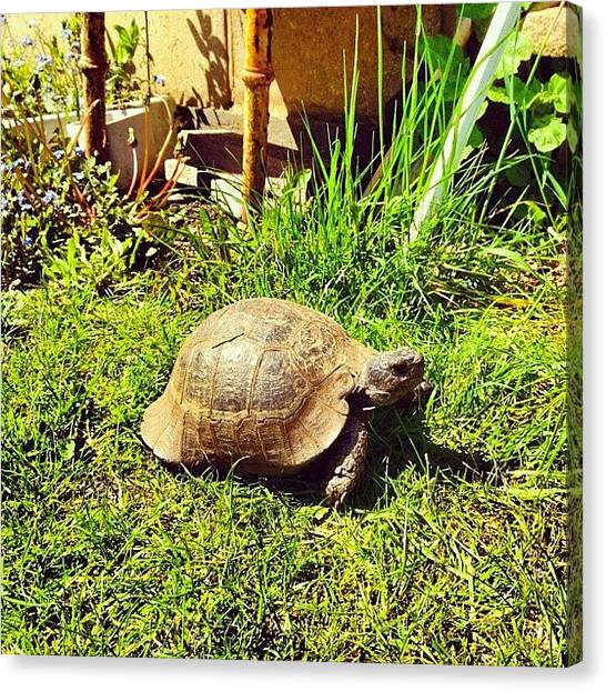 Tortoises Canvas Print - #gmy #springshoutout #nature #pet by Andy Brett