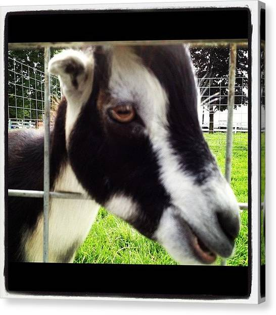 Goats Canvas Print - #goat #fence #chew #igs #igers #igdaily by Danielle Mcneil