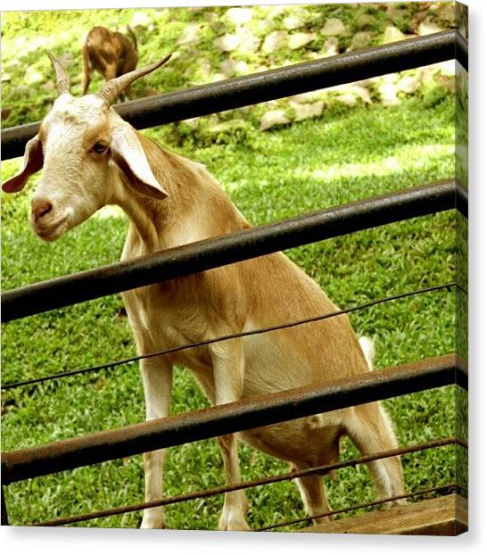 Satan Canvas Print - #goat #satan #animal #instamood by Yoga Winaldi Hernanda
