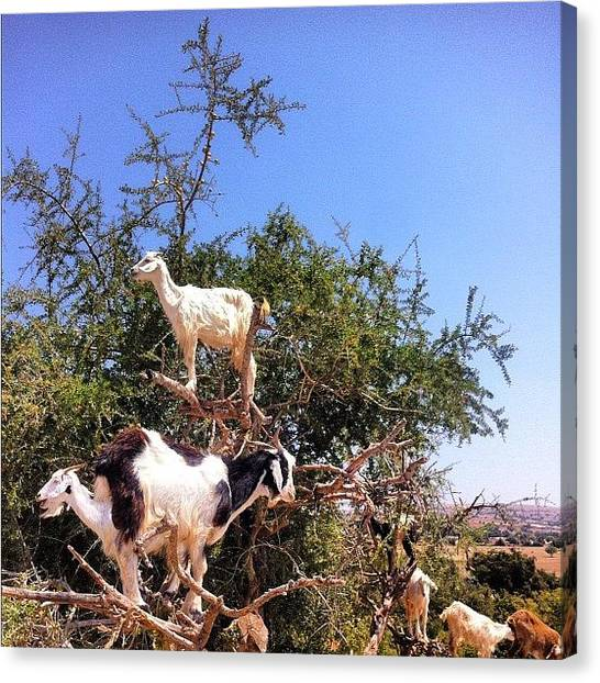 Goats Canvas Print - #goat #tree #nature #sky #morocco by Soredewa Seitai