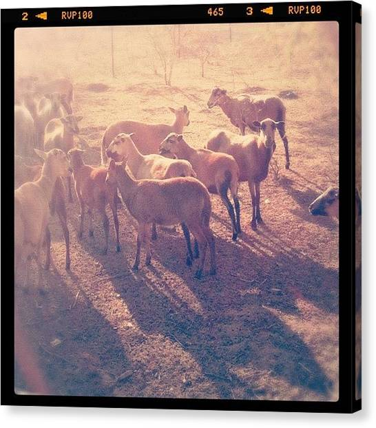 Goats Canvas Print - #goats Basking In The #sunlight by Rachel Boyer
