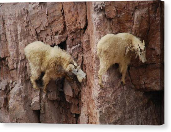 Goats On Rocks Canvas Print