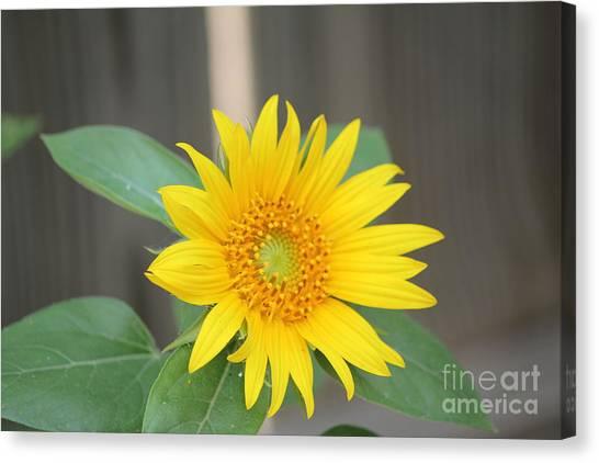 God's Sunflower Canvas Print