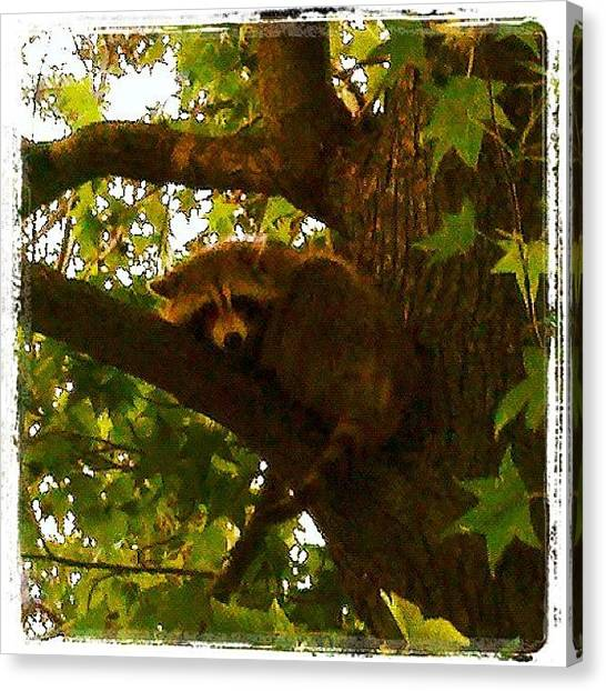 Raccoons Canvas Print - Going Out On A Limb by Susan Neufeld