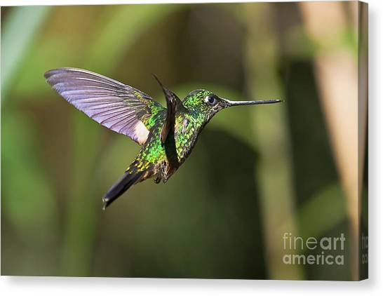 Golden-breasted Puffleg Canvas Print