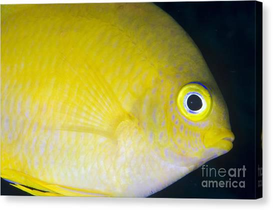 Kimbe Bay Canvas Print - Golden Damsel Close-up, Papua New by Steve Jones