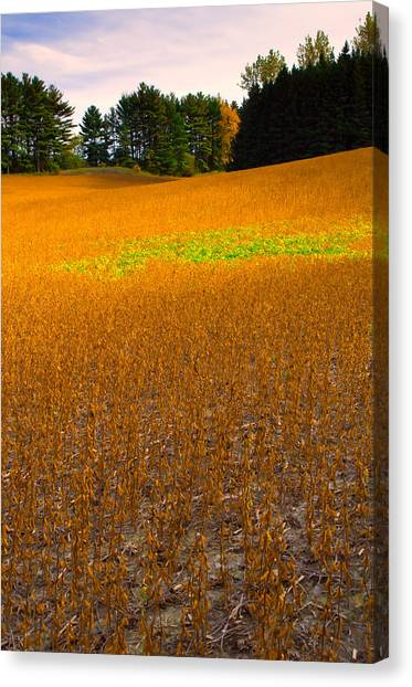Golden Field Canvas Print by Luba Citrin