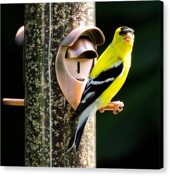 Golden Finch Canvas Print by Terri Albertson