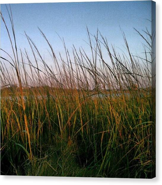 Seagrass Canvas Print - Golden Grasses~ #backcove #maine by Chris T Darling