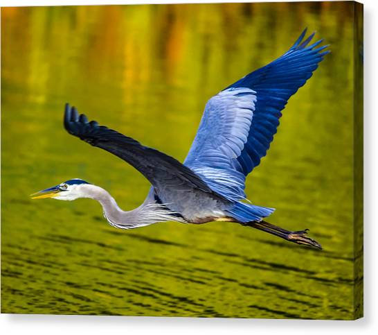 Golden Heron Canvas Print by Brian Stevens