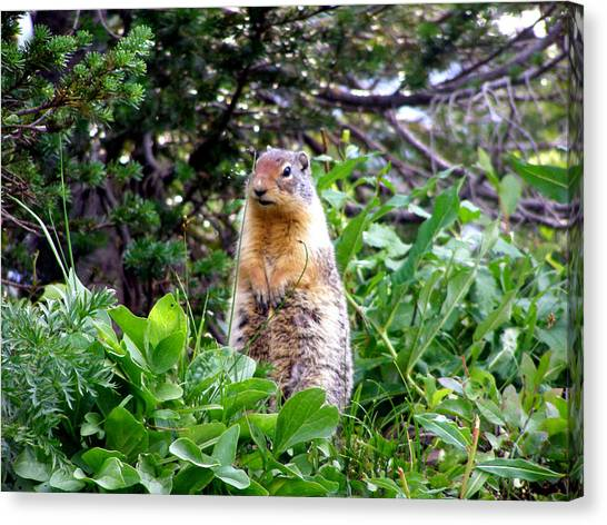 Golden Mantled Ground Squirrel  - Standing Canvas Print by Mark Caldwell