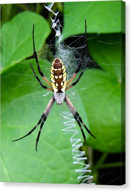 Golden Orb Weaver Spider Photograph By Tony Grider