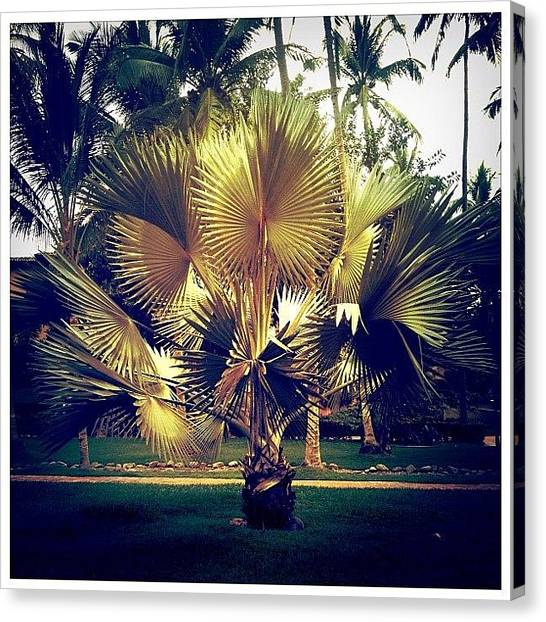 Mexican Canvas Print - Golden Palm by Natasha Marco