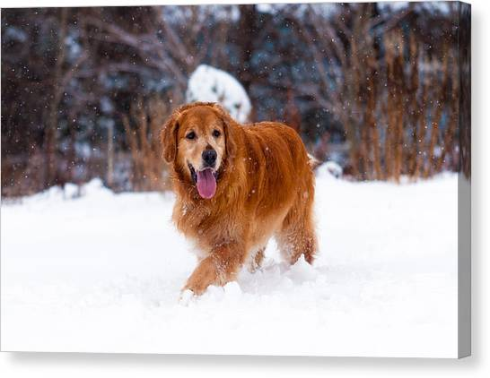 Golden Retriever Canvas Print by Matt Dobson