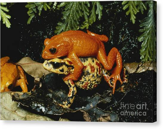Monteverde Canvas Print - Golden Toads Mating by Gregory G. Dimijian, M.D.
