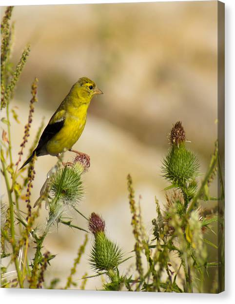 Goldfinch On Lookout Canvas Print