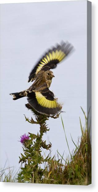 Goldfinch On Thistle Canvas Print