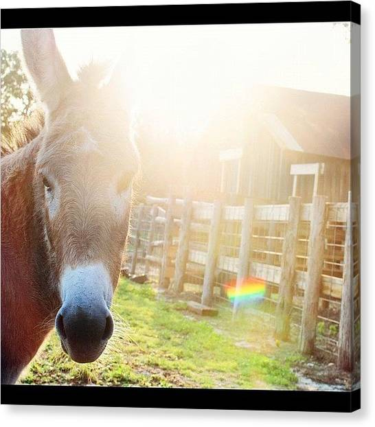 Donkeys Canvas Print - Good Morning Bella! #texas #ranch by Victoria Haas