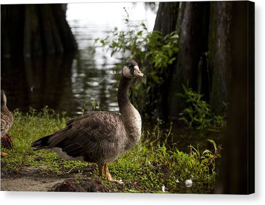 Goose Canvas Print by Christina Durity