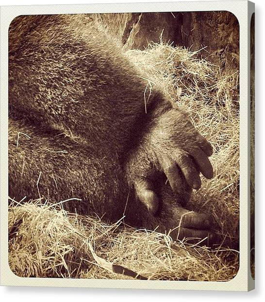 Gorillas Canvas Print - Gorilla Feet! Caught This Amazing by Robert Campbell