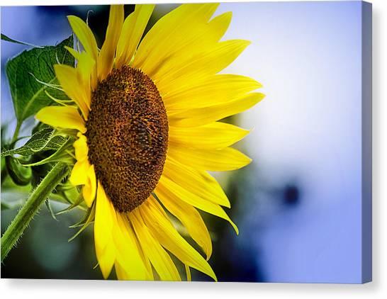 Graceful Sunflower Canvas Print