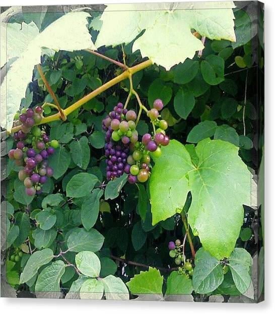 Grapes Canvas Print - Grapes by Alexandra Cook