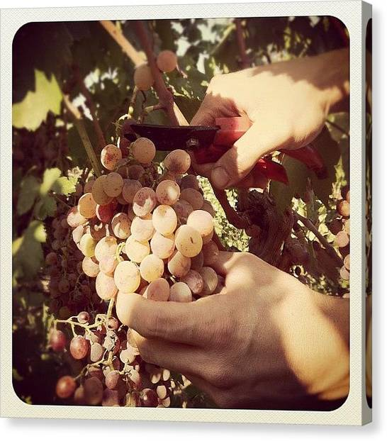 Grapes Canvas Print - #grapes #bunch #vine_harvest #wine by Christakis K