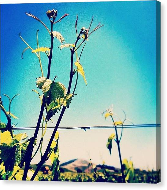 Vineyard Canvas Print - #grapes #grapevines #napa #norcal by Kristy Korcz