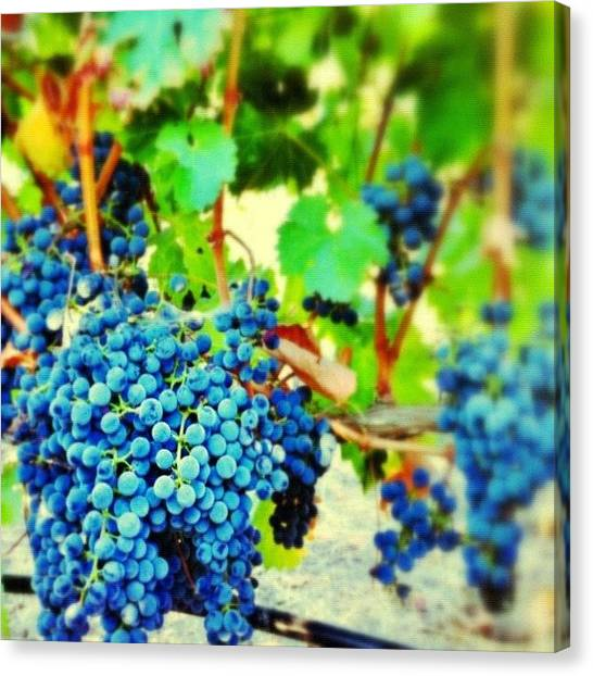 Harvest Canvas Print - #grapes On The #vine In My Backyard by Jackie W