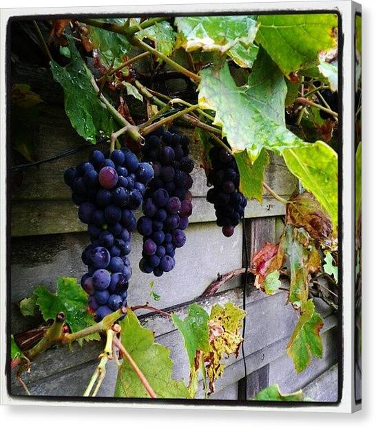 Harvest Canvas Print - Grapes  by Rudy De Koning