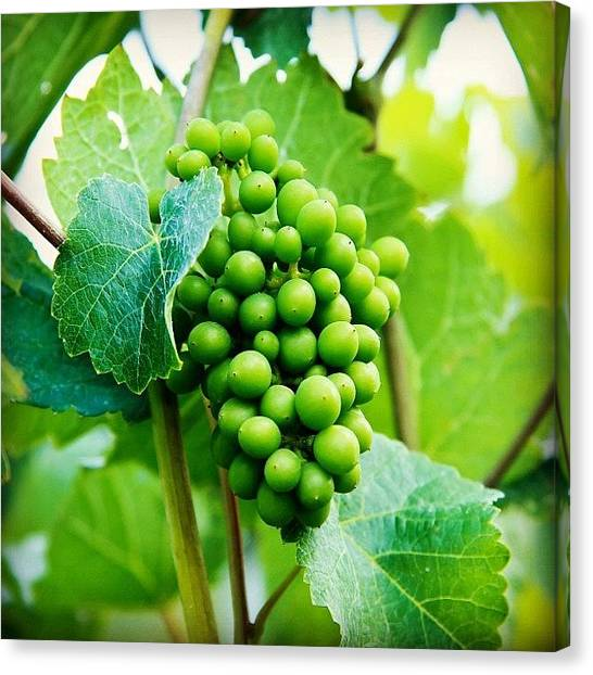 Grapes Canvas Print - #grapes #winery #vines #instagood by Jordan Rosales